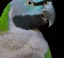 Lord Derby's parakeet by Dominika Aniola