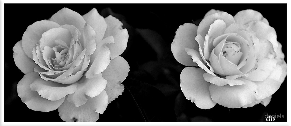 2 roses in black & white. by daniels
