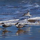 Crested Terns #2 by Bette Devine