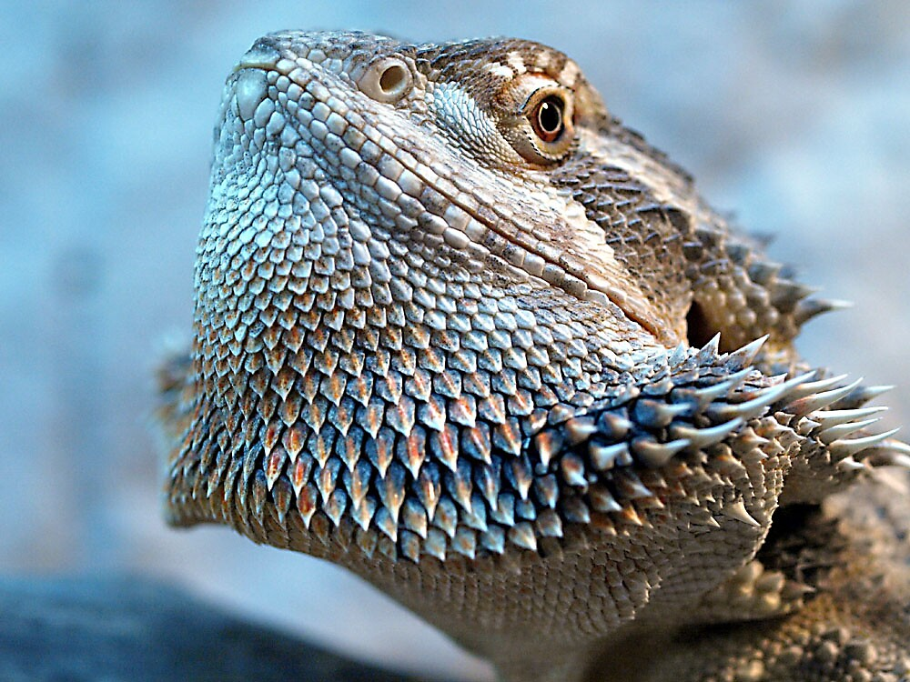 bearded dragon by babsi