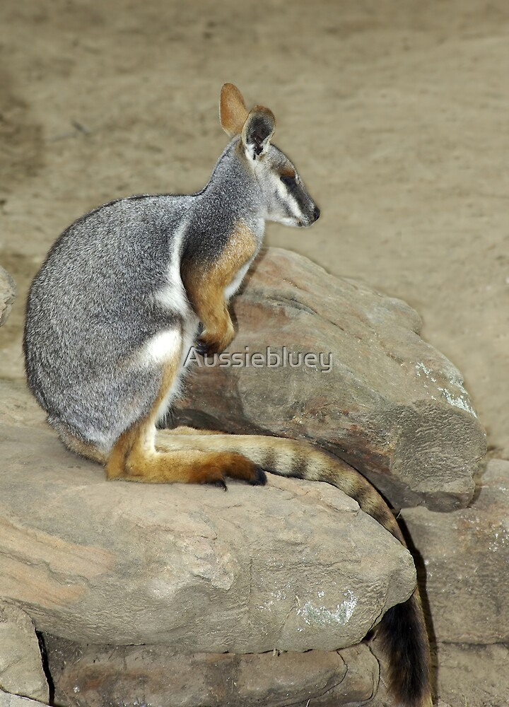 Yelleow Footed Rock Wallaby. by Aussiebluey