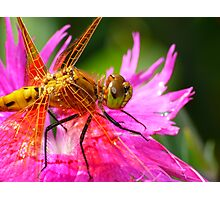 Dragonfly, Orange on Electric Pink Photographic Print