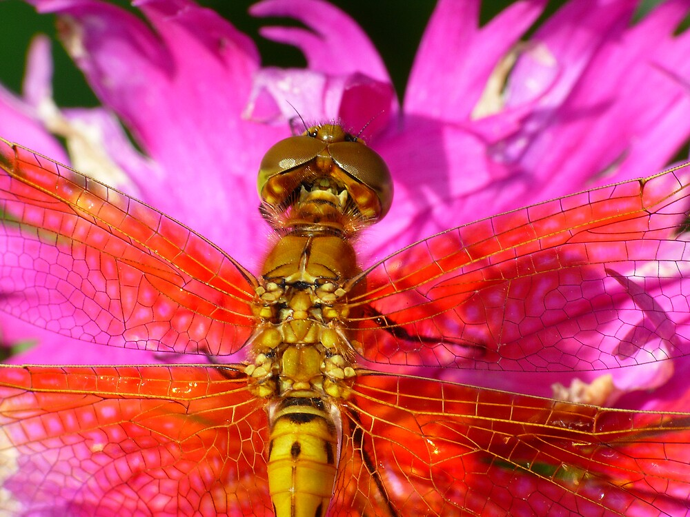 Dragonfly in Pink, Top View by Geoffrey
