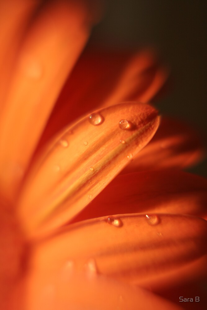 orange daisy by Sara B
