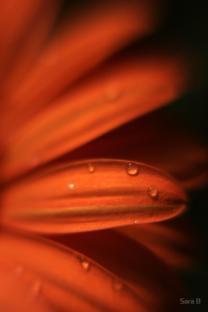 orange daisy 2 by Sara B