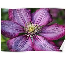 Pink Clematis - Macro Photography Poster