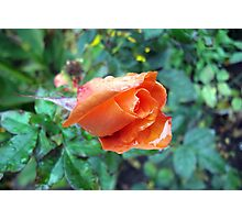 Apricot Rose In The Rain Photographic Print
