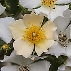 White and Yellow Rose Bush by Pixie Copley LRPS