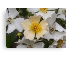 White and Yellow Rose Bush Canvas Print
