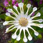 White African Daisy by ERick