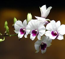 White And Purple Orchids by nalinmard