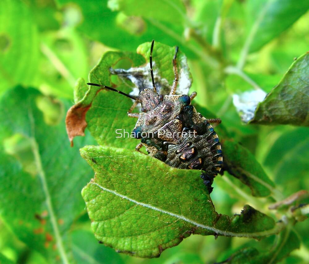 A Shield Bug by Sharon Perrett