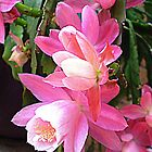 Christmas Cactus - Makes a delightful picture by EdsMum