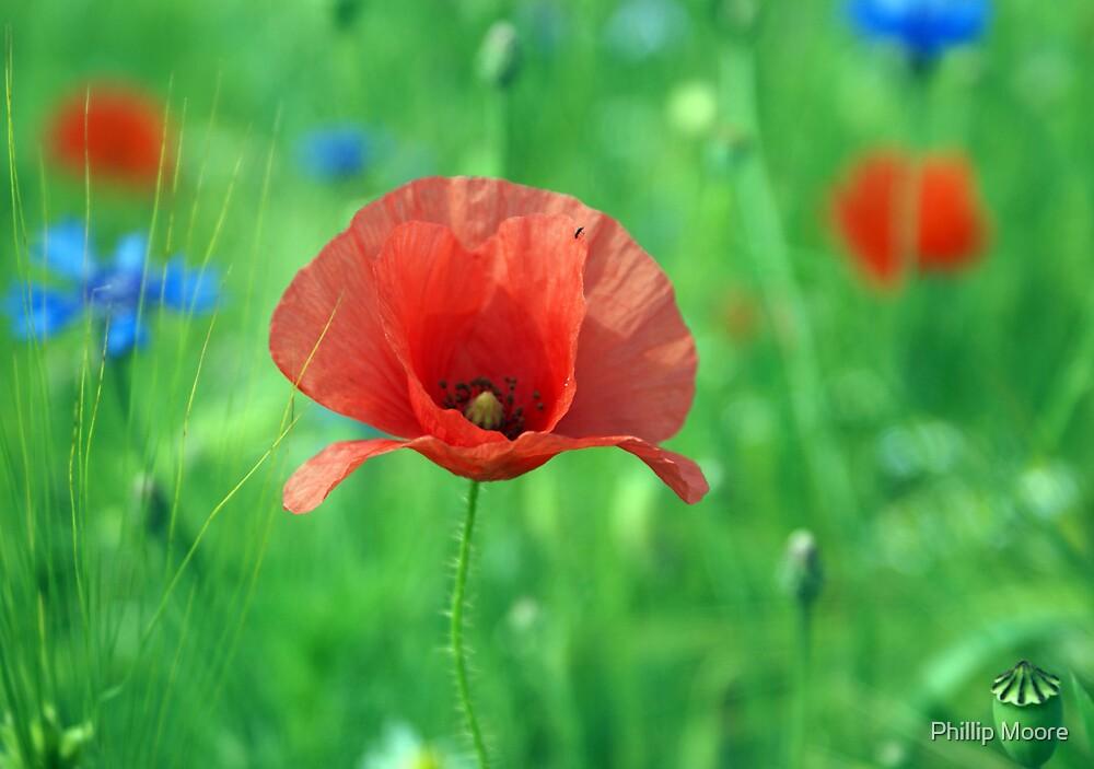 German Poppy by Phillip Moore