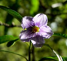 Solanum by margotk