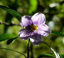Solanum by margotk