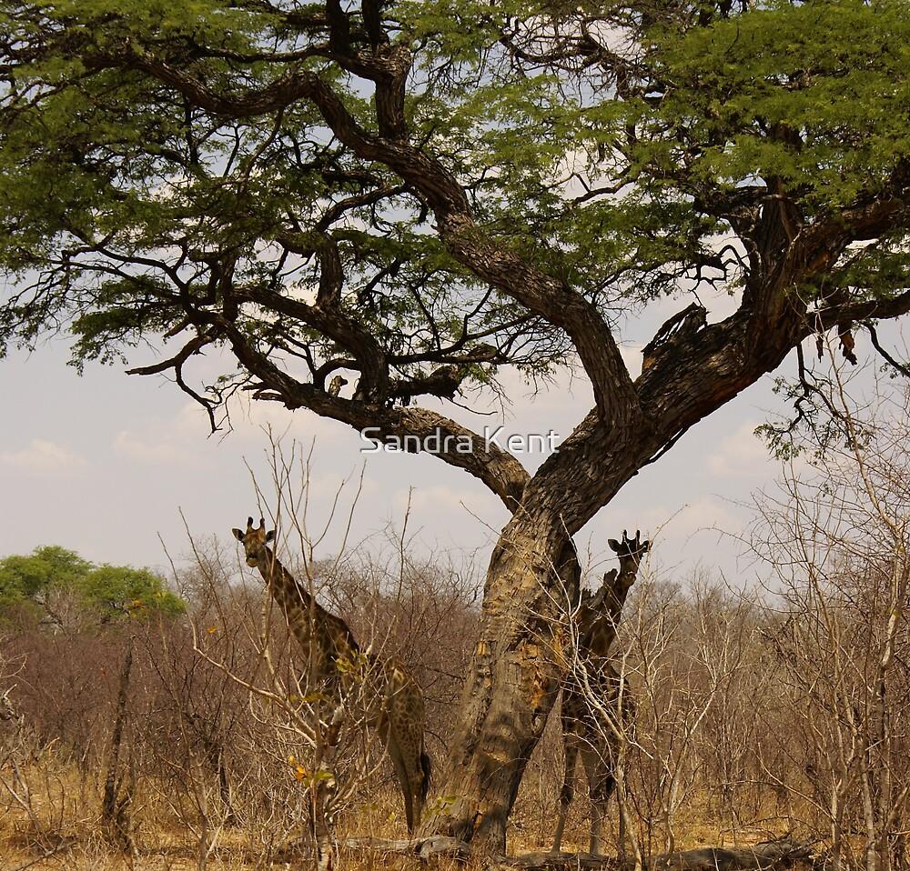 Giraffes in the Trees by Sandra Kent