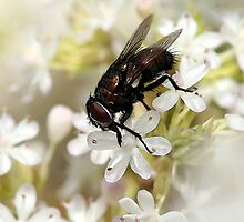 Fly on White Blossom by Lesley Smitheringale