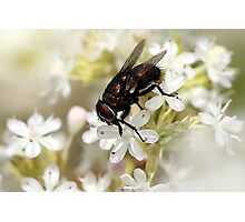 Fly on White Blossom Photographic Print