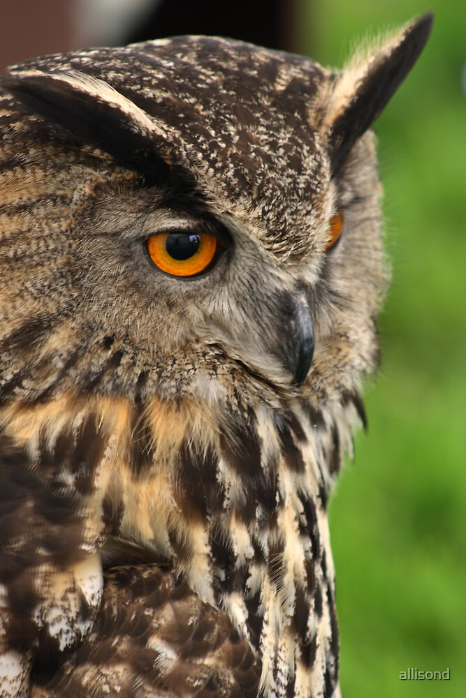 Owl looking for prey by allisond