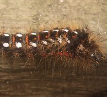 hairy caterpillar by JayneW