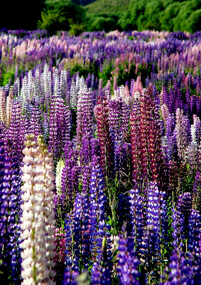 Lupins by Dave Lloyd