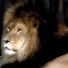 Lion by PhotoNinja