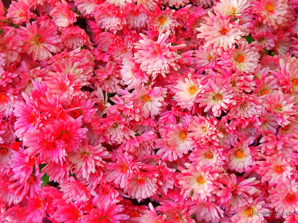 Pink Chrysantemums by Pauline Jones
