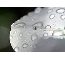 Bug On A Sweet Pea Photographic Print