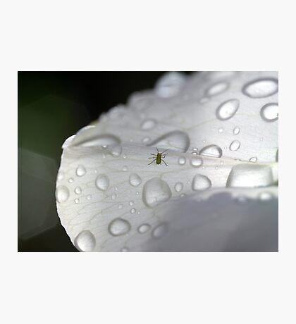 Bug On A Sweet Pea Photographic Print