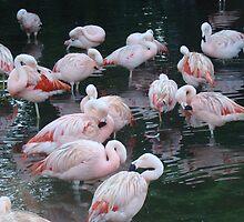 Pink flamingos by Albert1000