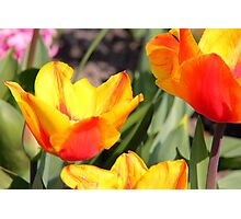Tulips from Holland Photographic Print
