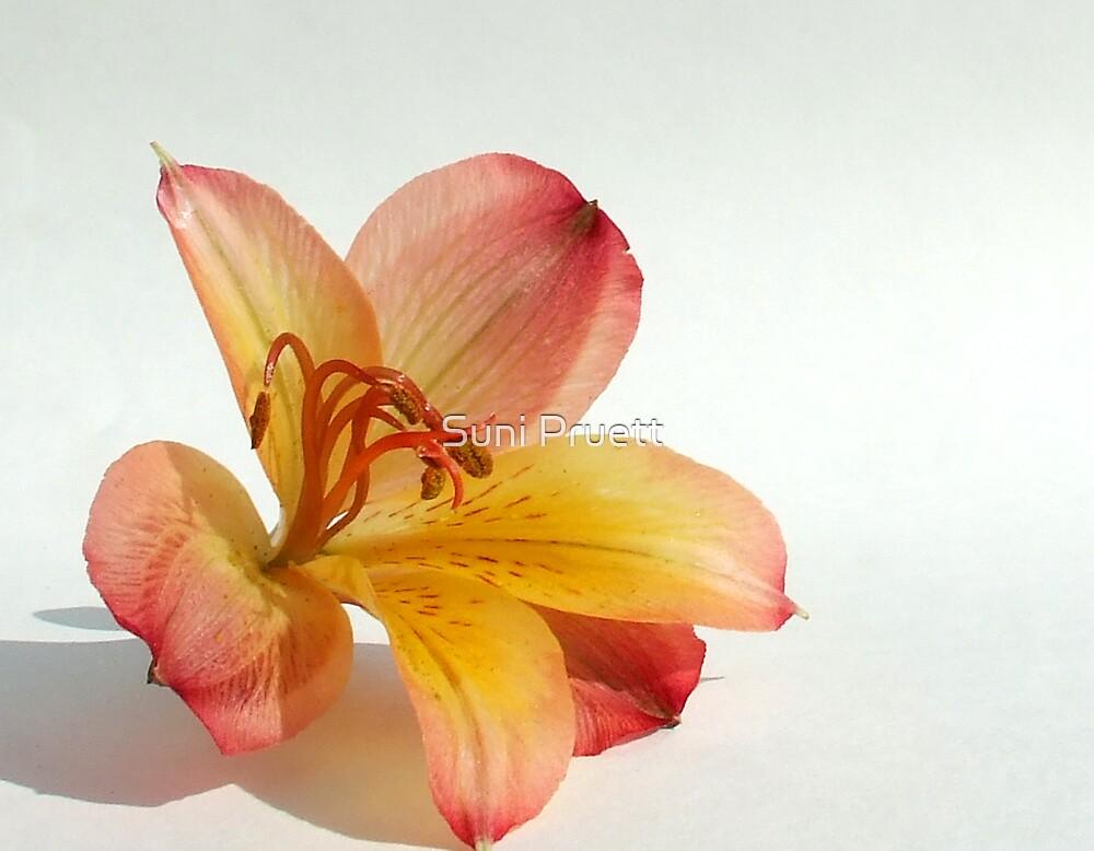 Alstroemeria Flower by Suni Pruett