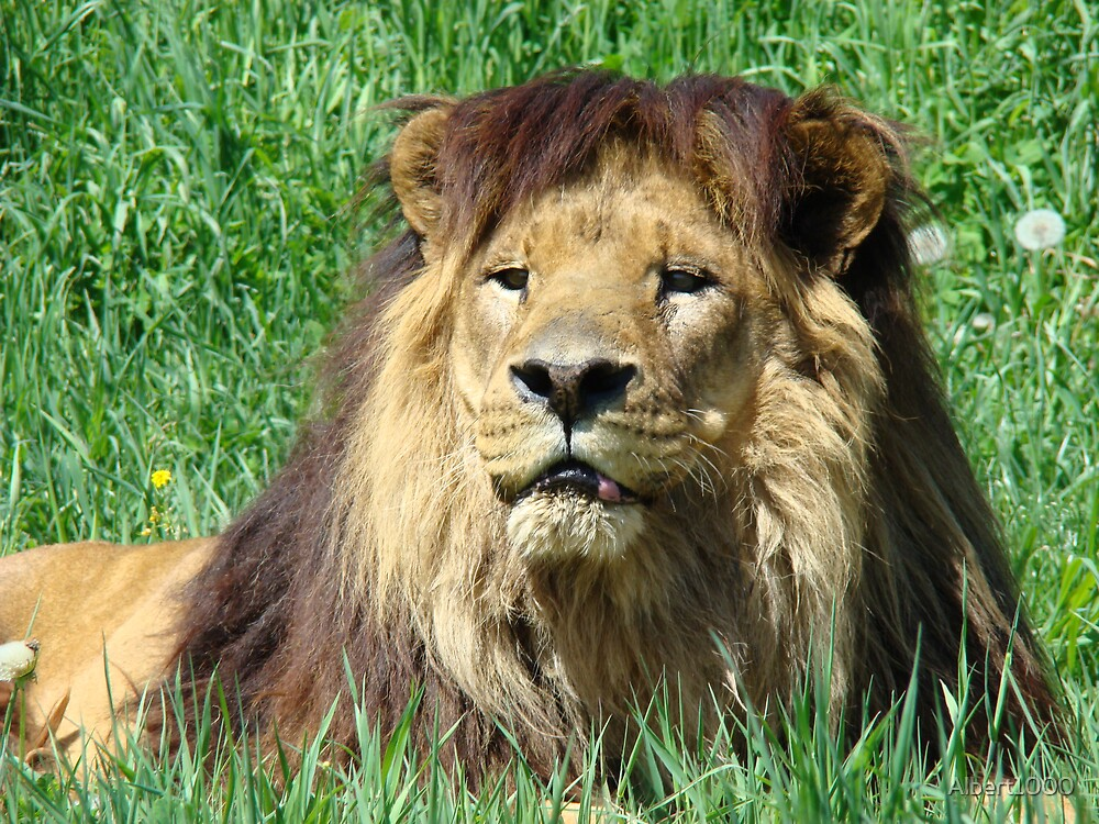 Lion in grass. by Albert1000