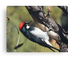 RedCap Woodpecker Canvas Print