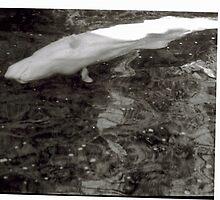 Beluga Sidestroke by daniel pelletier