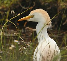 Cattle Egret by Herbie