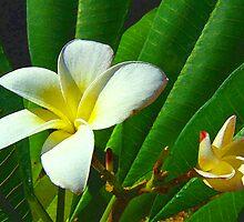 Plumeria obtusa by Clarence R. Walker