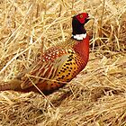 Ring-necked Pheasant  by lorilee