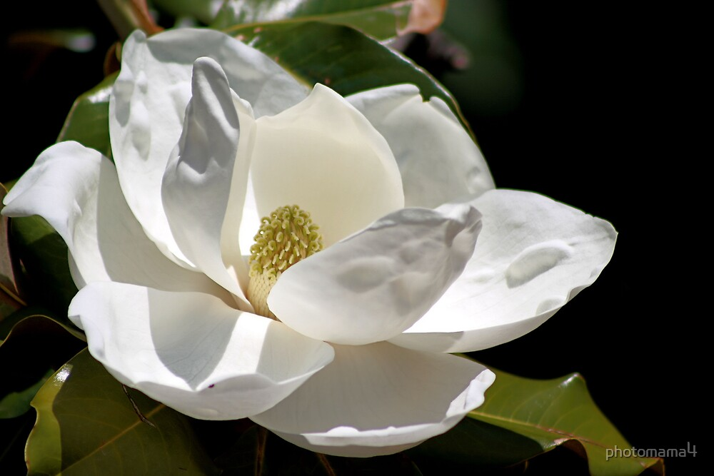 Magnolia by photomama4