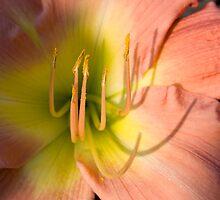 Peach & Yellow DayLily by jenndes