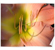 Peach & Yellow DayLily Poster
