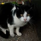 Black and White Cat by EricHands