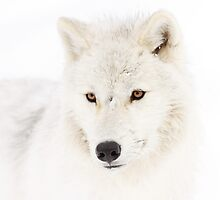 Portrait of a Wolf - Arctic Wolf by Jim Cumming