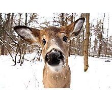 Nosey - White-tailed Deer Photographic Print