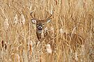 And there are KINGS! - White-tailed deer Buck by Jim Cumming