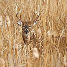 Marsh King - White-tailed deer Buck by Jim Cumming