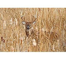 Marsh King - White-tailed deer Buck Photographic Print