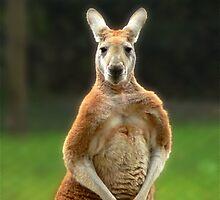Kangaroo by margotk