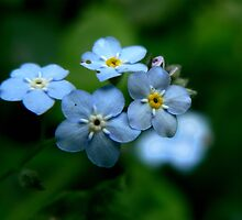 Forget Me Nots by Margot Kiesskalt